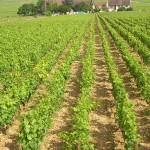 Burgundy vine yards