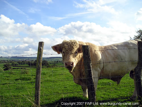 Charolais cows in the heart of Burgundy