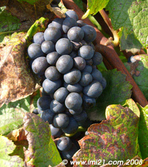 A Pinot noir almost ready to be harvested